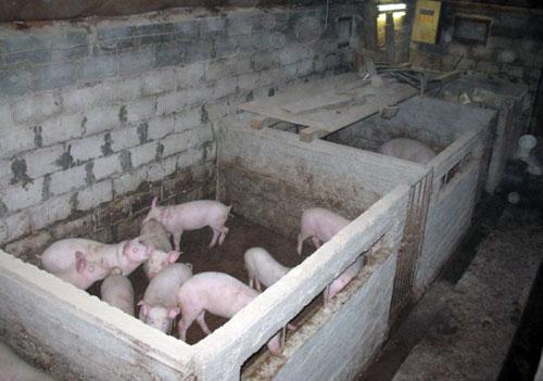 Помещение для свиньи в домашних условиях