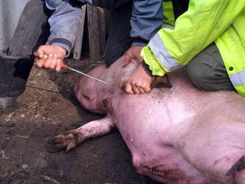 способ — убой свиньи в